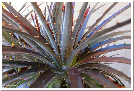 130915_Dyckia-Burgundy-Ice_15