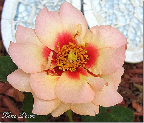 Rose_PinkLemonade_Eyeconic2