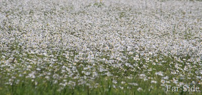 Daisies swaying in the breeze