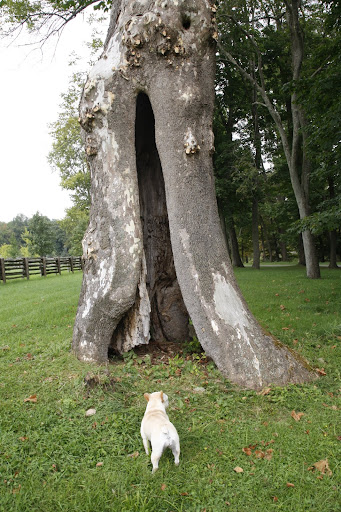 Here it is!  The ancient hollowed-out sycamore tree.  This is where I'll have my hideout.