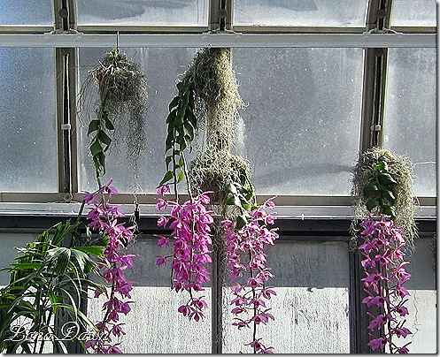 FPC_HangingOrchids