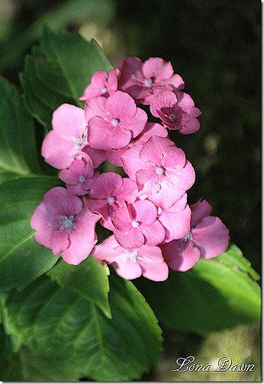 Hydrangea_Summer_Beauty