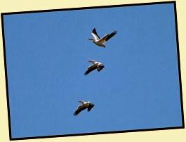 06 - White Pelicans