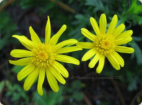 05-15-bush-daisy