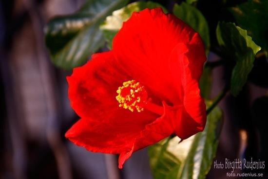 blom_20111009_hibiskus