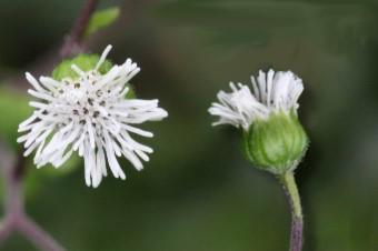 下田菊3-花朵