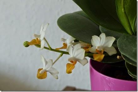 2015_02 Orchideen (3)