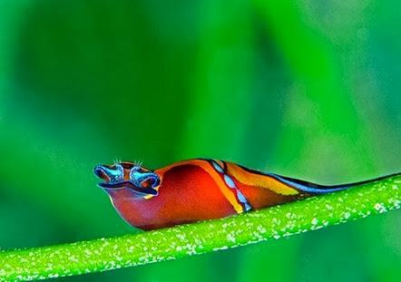Amazing Pictures of Animals, Photo, Nature, Incredibel, Funny, Zoo, Chelidonura hirundinina, Aglajidae, Αlex (12)