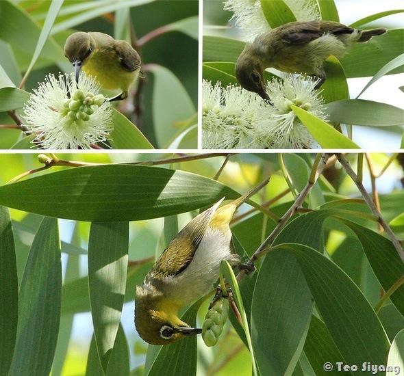Melaleuca-bird