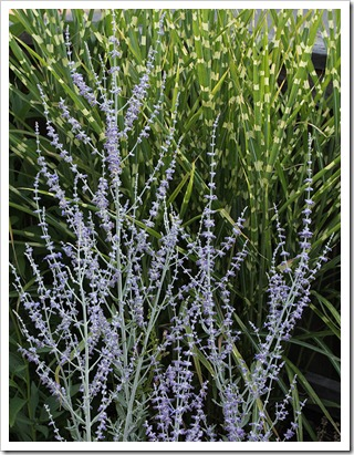 110707_frontyard_russian_sage super_stripe