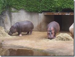 2008.05.26-016 hippopotames