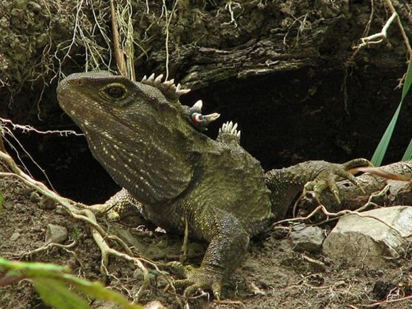 Tuatara.img_assist_custom-600x451