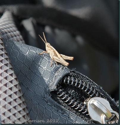 78-grasshopper