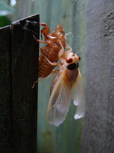 cicada hanging on shell side view