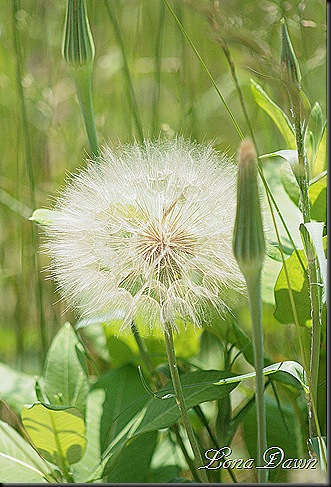 S_Yellow_Salsify_Oysterplant2