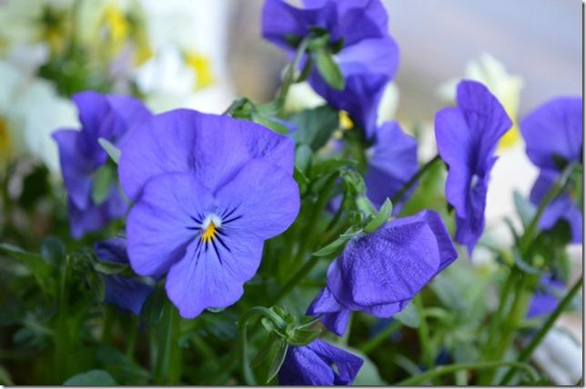violetviola