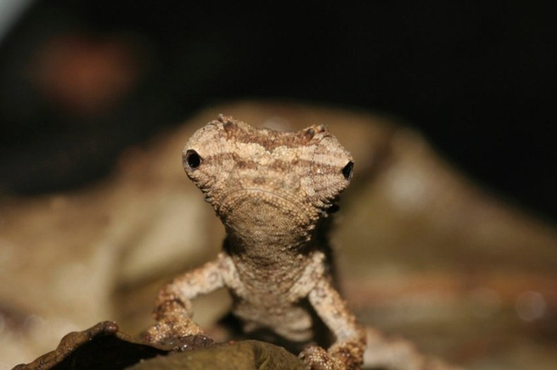 tiny-chameleon-1