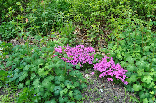 Phlox and Columbine