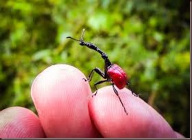 Amazing Pictures of Animals, photo, Nature, exotic, funny, incredibel, Zoo, Giraffe weevil, Insecta, Alex (8)