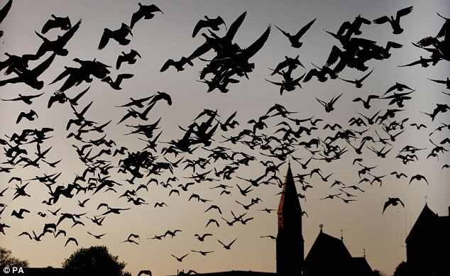 A flock of geese take to the air. Academics believe it is the power of flight which has made the species more robust than other animals, enabling under threat flocks to migrate long distances. Photo: PA