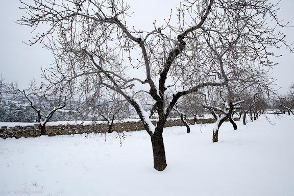 Conreu d'ametllers a la serra de la Llena, paisatge nevatUlldemolins, Priorat, Tarragona