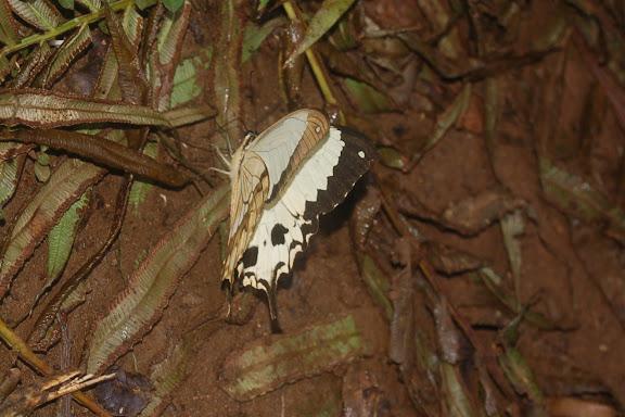 Papilio dardanus meriones C. & R. FELDER, 1865, mâle. Forêt de la Montagne d'Ambre (500 m), au sud d'Antsiranana, 31 janvier 2011. Photo : T. Laugier