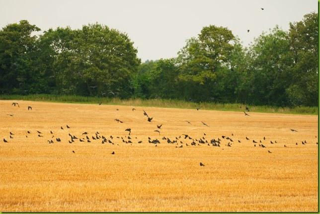 crows in stubble field