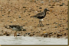 untitled Black-belled Plover Greater YellowlegsMSB_9732 August 27, 2011 NIKON D300S