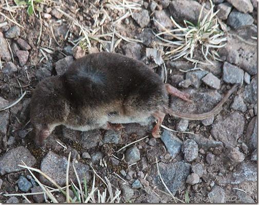 13-dead-shrew
