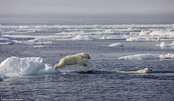 Cubs jumping into the water as the pack ice breaks up in the summer. Polar bears are actually marine mammals and are completely at home in the water as adults