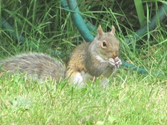 Squirrel bird seed bandit