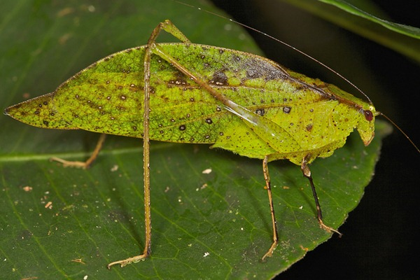 Leaf mimicking katydid