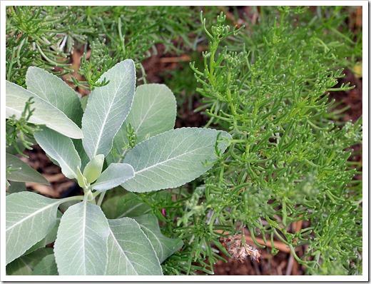 130601_Salvia-apiana- -Eriocephalus-africanus