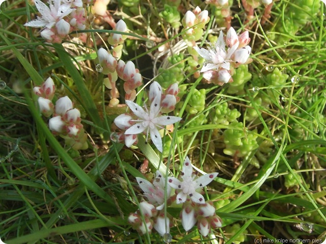 white stonecrop up the parc