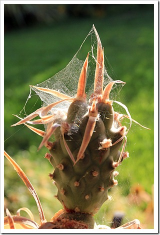 120815_Tephrocactus-articulatus