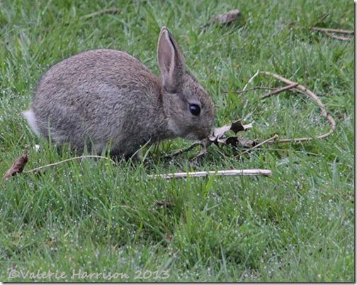 rabbit-6