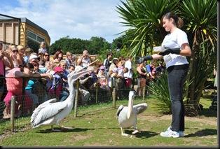 Victoria feeding Pelicans DSC_1416