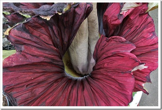 110625_Amorphophallus-titanum_04
