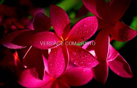 red_plumeria_flowers-1440x900