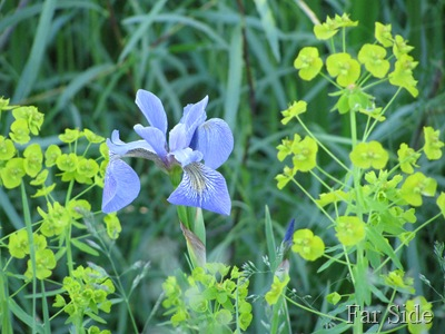 Wild Iris trying to survive the Leafy Spurge Euphorbia esula
