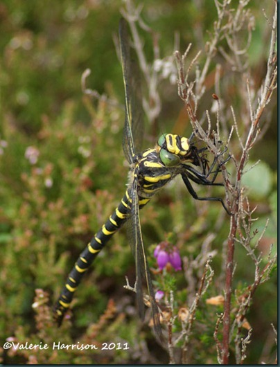 17-golden-ringed-dragonfly