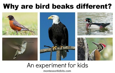 Montessori Tidbits:  Why are bird beaks different experiement for kids