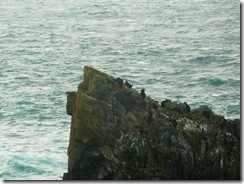 butt of lewis seabirds on stack