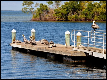 07e - E.G. Simmons - Bike Ride - Pelicans enjoying the sunshine