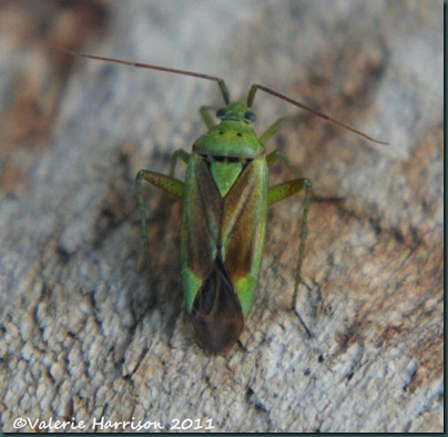 Potato-Capsid-Bug-Closterotomus-norwegicus