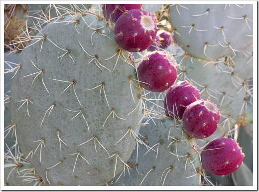 121013_RBG_fall_sale_opuntia-with-fruit2