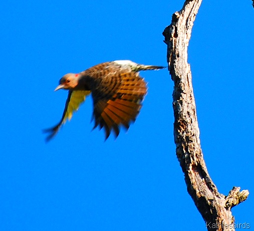 1. Northern flicker-kab