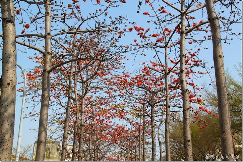 台南-黃花風鈴木與木棉道