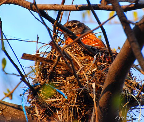 11. nesting robin-kab