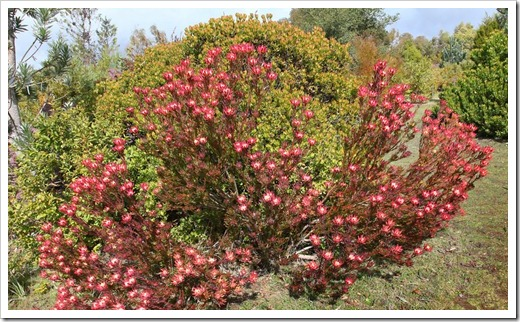 120211_UCSC_Arboretum_Leucadendron-salignum-Winter-Red_08